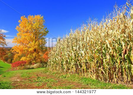 Autumn colors in Midwestern heartland rolling farmland cornfield harvest