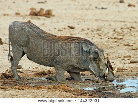 Warthog with an ox pecker perched on his nose