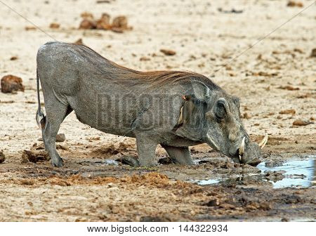 Warthog with an ox pecker perched on his back feeding for ticks and insects
