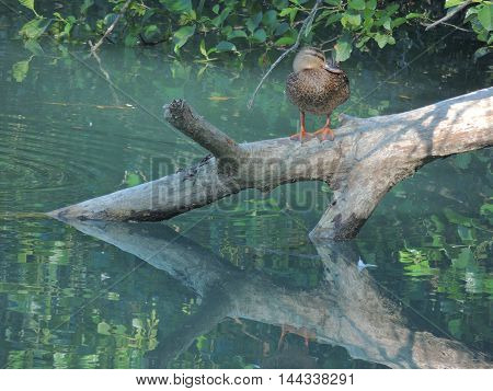 Duck on the trunk submerged partially in the water