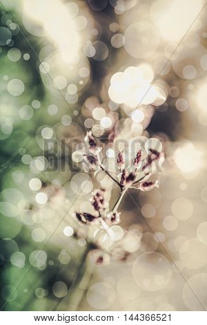 Closeup of beautiful poaceae with dew on nature blurred bokeh background. Abstract nature background. Fresh flower on defocused light with bright sunlight. Outdoors. Vintage tone effect. Cross process