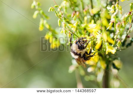 Macro Of A Worker Honey Bee With Copy Space