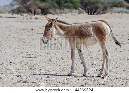 Young onager (Equus hemionus) is a brown Asian wild donkey inhabiting nature reserve park near Eilat
