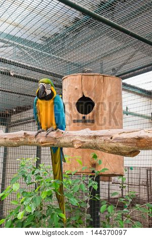 Blue-and-yellow macaw or Blue-and-gold macaw sitting on tree in front of the nest.