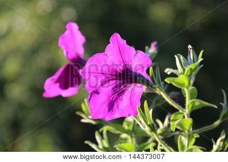 Purple petunia flowers in pot. Growing hanging petunias close up