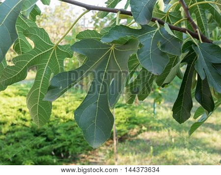 Leaves of Fig tree aka Ficus tree