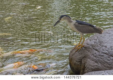 Black crowned night heron fishing in a koi pond. Taken at Wailea Maui Hawaii