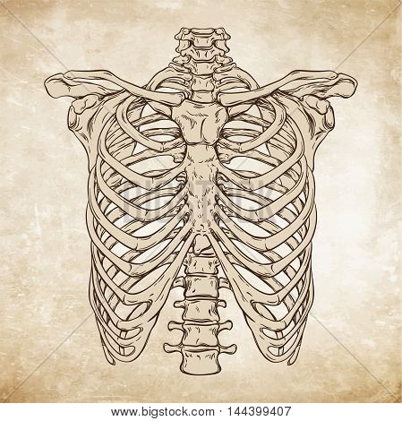 Hand Drawn Line Art Anatomically Correct Human Ribcage. Da Vinci Sketches Style Over Grunge Aged Pap
