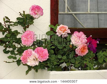 Different Color Roses In Old Rustic Window Sill 1b