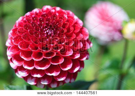 Macro of a red dahlia - cultivar Diva poster