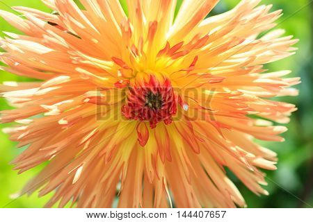 Macro of a yellow dahlia - cultivar Emmaues
