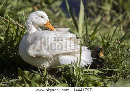 Pekin Duck, Sitting On The Riverbank Beside The River