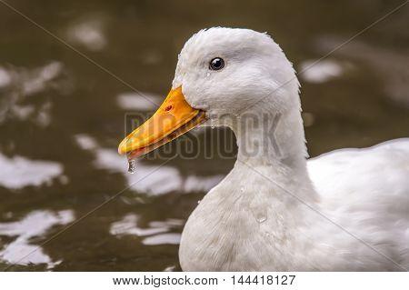 Pekin Duck, Portrait, Swimming In A River