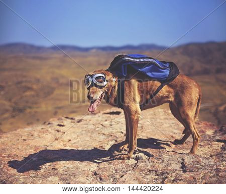 a dog standing on a mountain top with a canvas backpack looking over a skyline toned with a retro vintage instagram filter