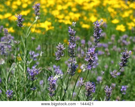 Field Of Violet Flowers