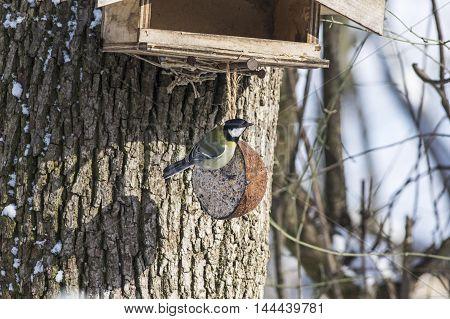 A great tit on a birdfeeder in fall