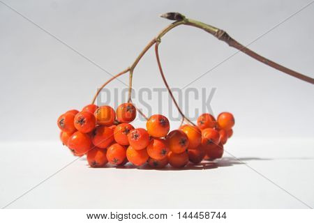 Rowan bright coral berries on a twig with shadow on light background