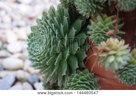 Hens and chicks succulent plant in outdoor planter