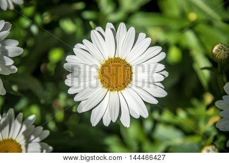 Picture of Leucanthemum vulgare or oxeye daisy flowers.