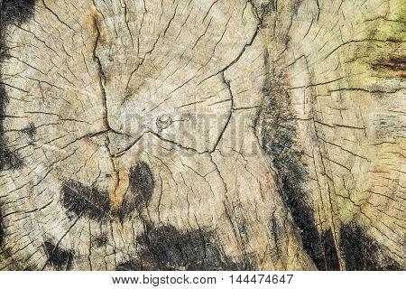 Wood texture of cutted tree trunk close-up Structure of an old tree