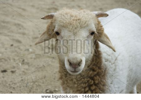 Detail Of A Sheep
