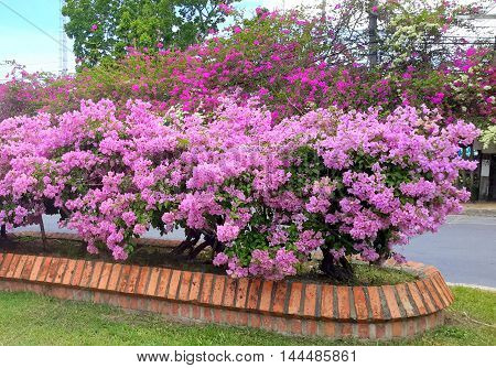 brick-edged median with pink bougainvillea hedge, Songkhla, Thailand