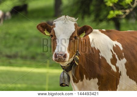 Swiss young cow - White-brown young cow with a bell on its neck standing in an orchard from Switzerland and looking straight into the camera.