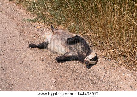 Dead Badger Lying By The Roadside