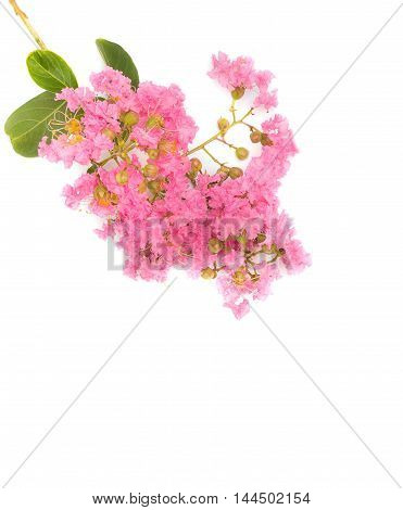 Pink crape myrtle Lagerstroemia speciosa or jarul flower of Indian subcontinent On a white background. ( Crape myrtle Indian lilac Crape flower.)