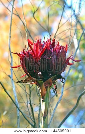 Giant flower head of the Gymea Lily (Doryanthes  excelsa). Also known as the Flame Lily or Spear Lily. Native to coastal New South Wales, Australia.