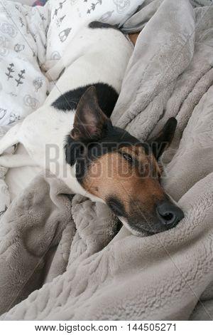 Sleepy dog lying in bad at home