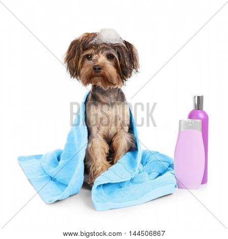Funny little dog in towel isolated on white