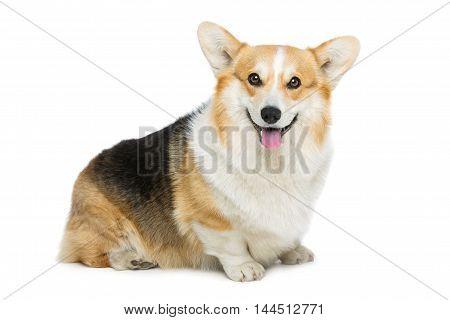 Beautiful welsh pembroke corgi dog sitting over white background. Isolated. Copy space.