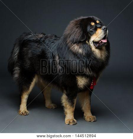 Closeup portrait of big beautiful Tibetan mastiff dog standing over black background. Copy space.