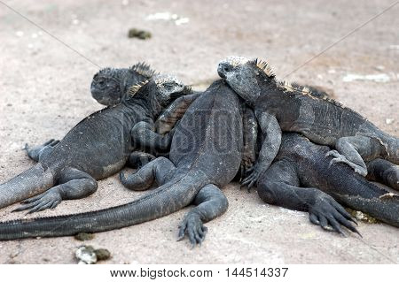 A group of marine iguanas warming up in a pile, Galapagos