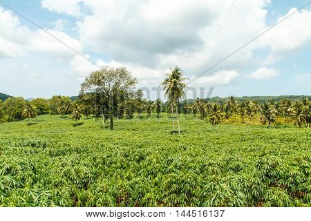 Manioc / cassava farming area in the agricultural industry.