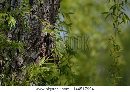Songbird Star in his bird's nest in a tree trunk