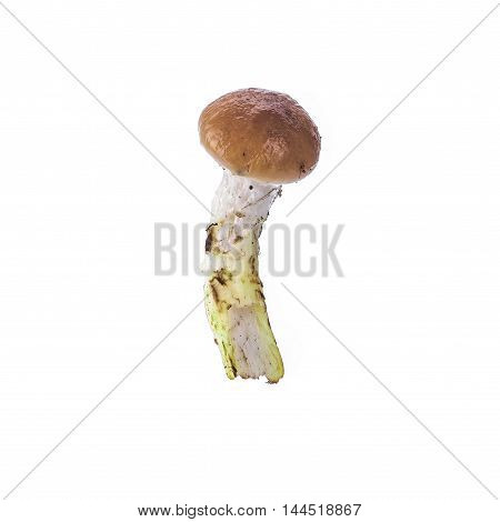 Annulated boletus forest mushroom isolated over white background