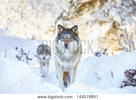 Wolf pack standing in the woods a cold winter day. Snow on the ground and on the trees.