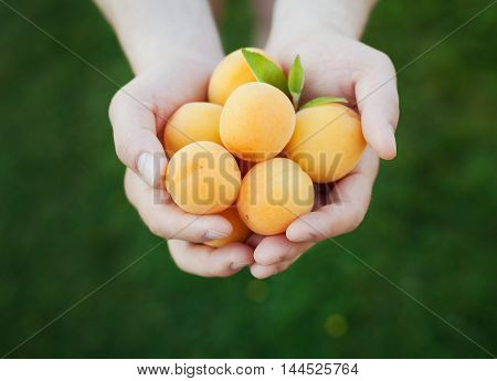 Farmer hands holding new harvest from ripe apricots. Selective focus. Natural organic vegetarian food.