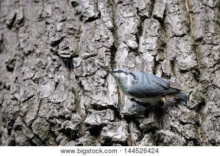 Eurasian nuthatch or wood nuthatch (Sitta europaea) at old tree trunk. Moscow region Russia