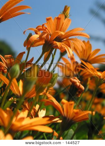 Light Orange Gerbera Flowers