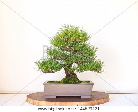 Japanese Bonzai Tree Pot on white background