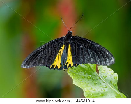 Troides Minos Or Southern Birdwing