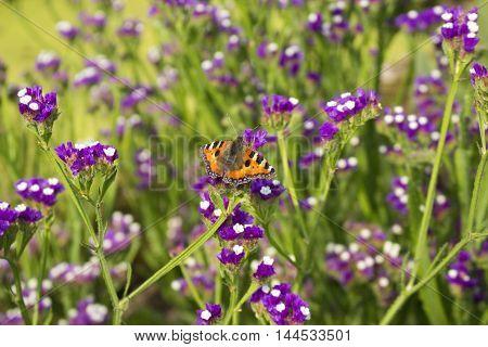 Tortoiseshell butterfly settled on purple and white heliotrope flowers