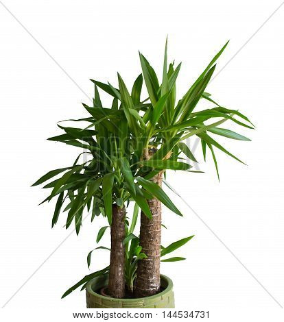 Yucca on white background. Isolated plant in the pot.