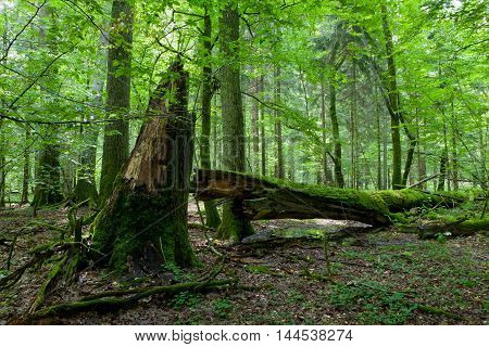 Sun iluminating rich deciduous forest in morning with broken oak tree in foreground, Bialowieza Forest, Poland, Europe