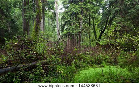 Natural mixed stand of Bialowieza Forest in summer morning, Bialowieza Forest, Poland, Europe