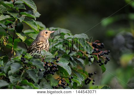 Song Thrush (Turdus philomelos) at berry bush early in the morning. Moscow region Russia