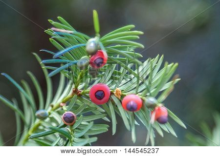 Red fruits of yew on thorny branches.
